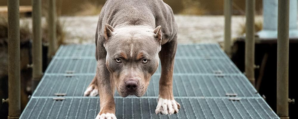 Illinois animal attack attorney for dangerous dog breeds